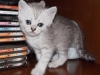 Whiska Scottish Fold Femea