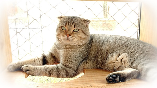 Bem-vindo ao Catway – Scottish Fold / British Shorthair